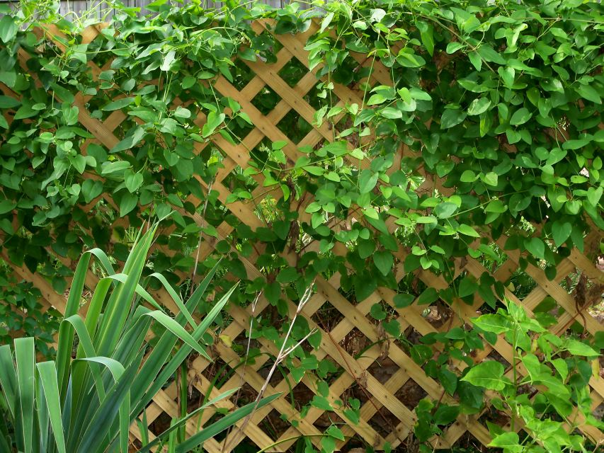 4 simple functions for a garden trellis my garden trellis make your garden beautiful for Haie de jardin plante