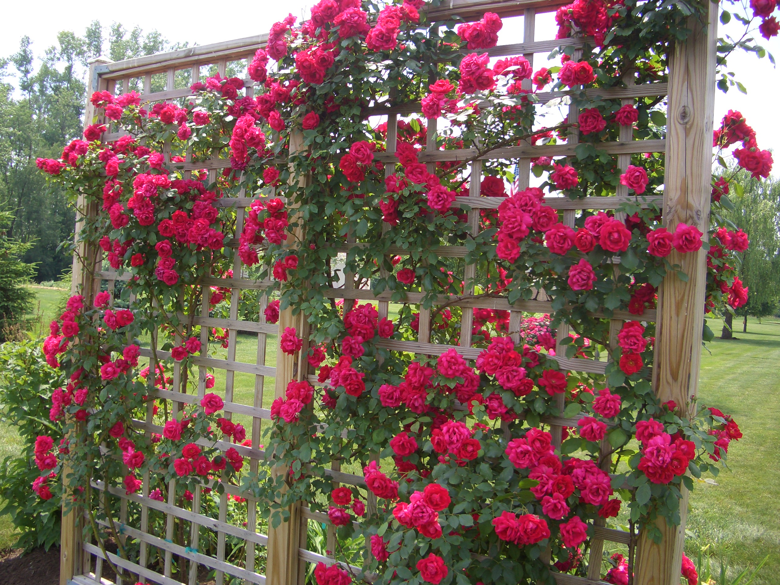 Tips on planting climbing roses on a rose trellis my garden trellis make your garden - Planting rose shrub step ...